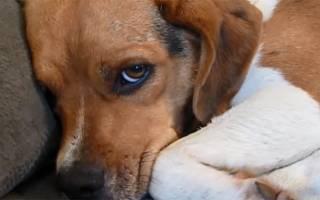 Гепатопатии — заболевания печени у собак