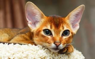 Абиссинская кошка: размеры
