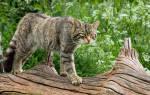 Лесная европейская кошка