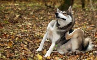 Ушная чесотка у собак: симптомы и схема лечения