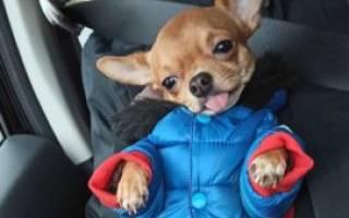 Сердечная недостаточность у собак: симптомы и лечение