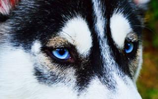 Хаски: голубоглазые щенки