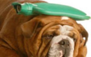 Плеврит у собак: симптомы и лечение