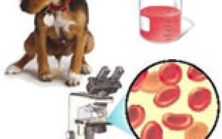 Гематурия у собак – важный признак серьезного заболевания