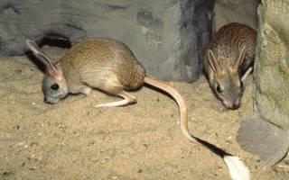 Животные пустыни: тушканчик и его повадки
