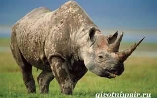 Характеристика носорога