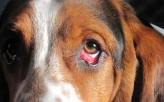 Фолликулярный конъюнктивит у собак: симптомы и лечение
