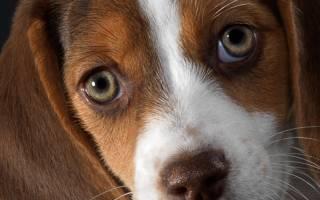 Гнойный конъюнктивит у собак: симптомы и лечение (список препаратов и их дозировка)