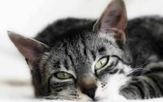 Симптомы гемобартенелеза у кошек