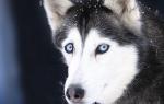 Гепатит у собак — симптомы и различные формы заболевания печени