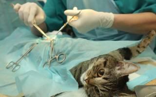 Кастрация кота в 3 года: подготовка, процедура, уход