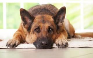 Промежностная грыжа у собаки: причины, осложнения, терапия