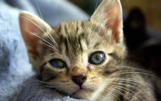Кератит у кошек и котов