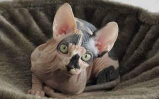Температура у кошки после стерилизации: что делать при высоких и низких показателях