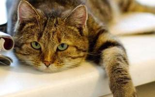 Кошка после стерилизации просит кота и продолжает метить. Что делать?