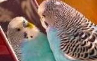 Все хотят говорящего волнистого попугая – девочку!