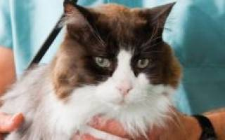 Касторовое масло для кошек при запоре: важные нюансы