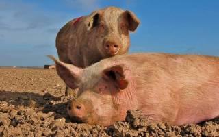Выращивание свиней на биодобавках