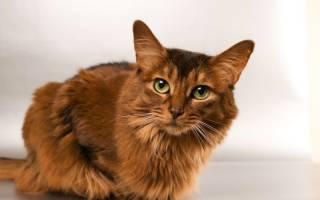 Причины возникновения герпеса у кошек и способы его лечения