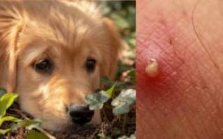Диагностируем и лечим фурункул у собаки