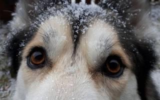 Перхоть у собаки: причины и профилактика
