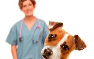 Как понять, что у собаки болит живот: признаки, симптомы