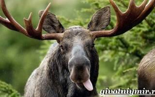Описание животного лось: внешний вид и особенности