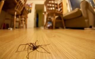 Что делать, если дома завелся большой паук