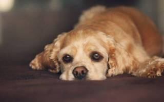 Воспаление печени у собак: причины, симптомы, лечение