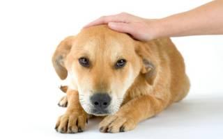 Гастроэнтероколит у собак: методы диагностирования, симптомы и лечение