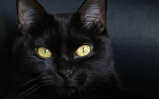 Особенности черных кошек