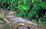 Анаконда – большая змея