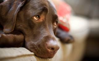 Саркома — злокачественная опухоль у собак