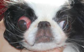 У Ши-тцу выпадают глаза: причины, лечение и первая помощь