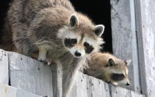 Домашний енот-полоскун: все об уходе за животным