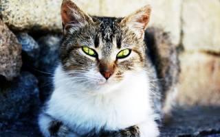 Вермидин для кошек: характеристика препарата и его дозировка