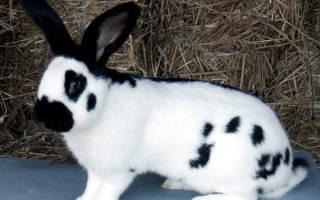 Кролики породы бабочка: стоимость, преимущества