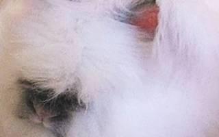 Белый пуховый кролик: описание породы
