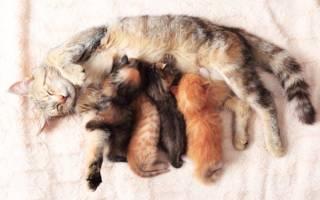 Глисты у кормящей кошки: как и чем помочь животному и не навредить потомству
