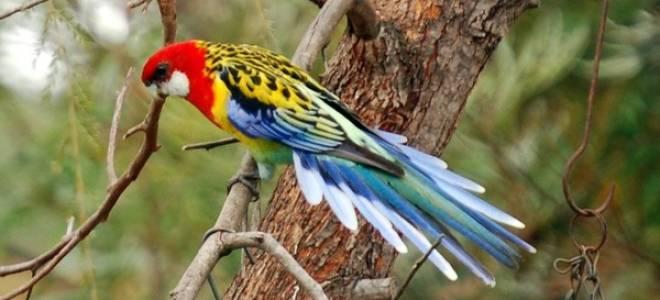 Попугай розелла и его содержание, обучение