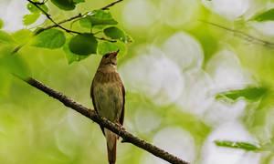 Когда поют перелетные птицы соловьи