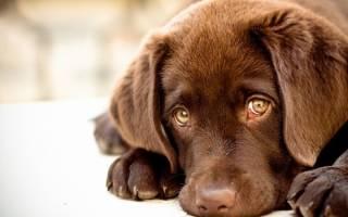 У собаки текут глаза — причины выделений и основы лечения
