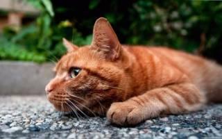 Болячки с запахом у кошки: виды, симптомы, лечение