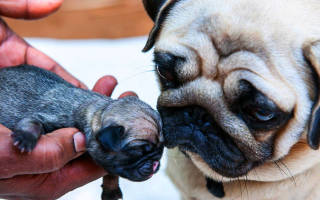 Помощь при родах у собак