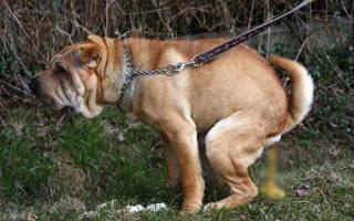 Понос и рвота у щенка: причины, диагностика, лечение