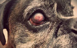 Язва роговицы у собак и кошек