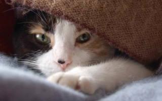 Как лечить, вылечить кошку от простуды