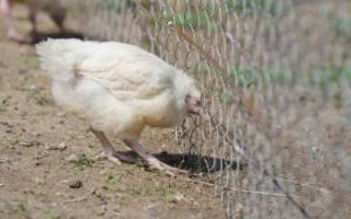 Болезни цыплят: симптомы и лечение народными средствами