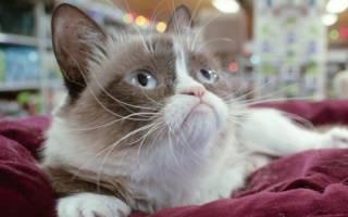 Тениидоз — глистные заболевания у кошек. Симптомы и лечение