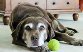 Стрептодермия или воспаление кожи у собак (симптомы и лечение)